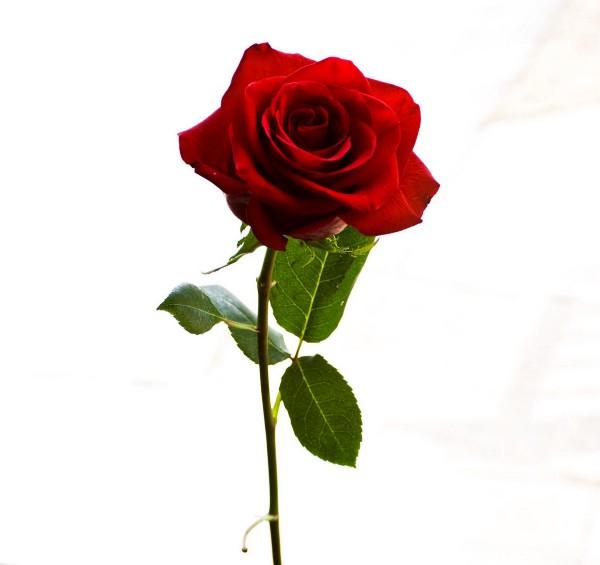 es-una-rosa-de-petalos-tintos-mi-flor