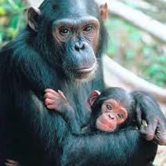 chimpance-zoo