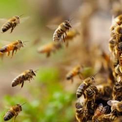 Las abejas estan desapareciendo - Pedro Kaufmann en Sabado Verde