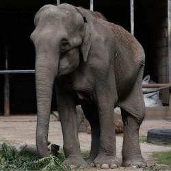 elefanta pelusa